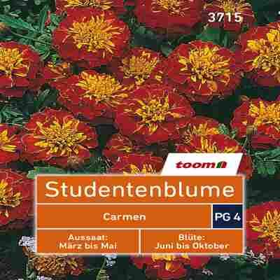 toom Studentenblume 'Carmen' 50 Stück