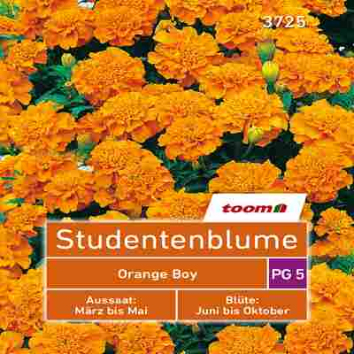 toom Studentenblume 'Orange Boy' 50 Stück