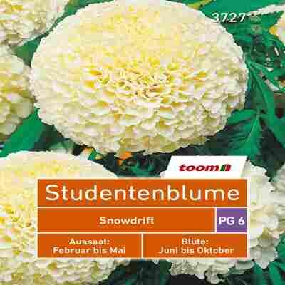 toom Studentenblume 'Snowdrift'