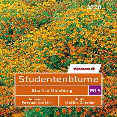 toom Studentenblume 'Starfire Mischung' 50 Stück
