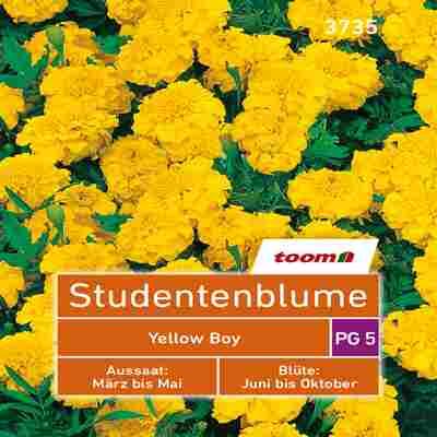 toom Studentenblume 'Yellow Boy' 50 Stück