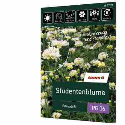 Studentenblume 'Snowdrift'