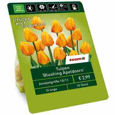 Tulpe 'Blushing Apeldoorn' gelb 10 Zwiebeln