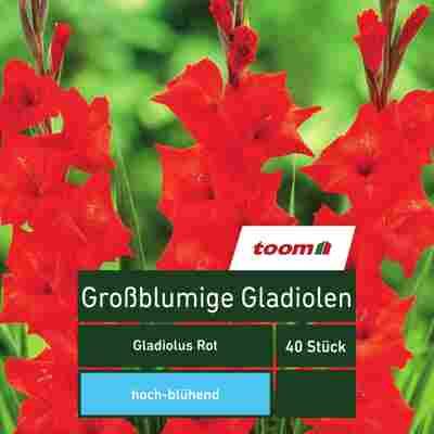Blumenzwiebeln Großblumige Gladiolen rot 40 Stück