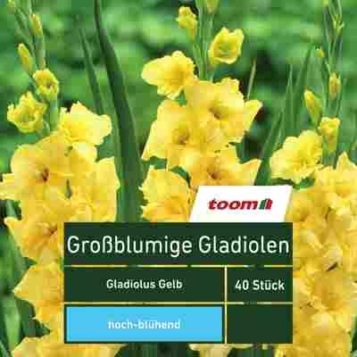 Blumenzwiebeln Großblumige Gladiolen gelb 40 Stück