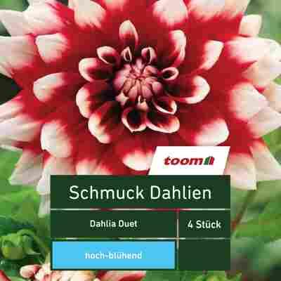 Schmuck-Dahlien 'Dahlia Duet', 4 Stück, rot-weiß