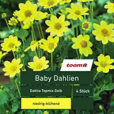 Baby-Dahlien 'Dahlia Topmix', 4 Stück, gelb