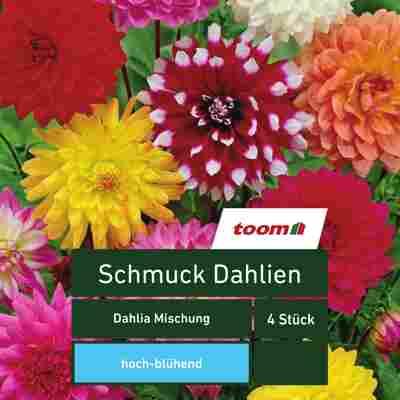 Blumenzwiebeln Schmuck-Dahlien 'Dahlia Mischung' 4 Stück mehrfarbig