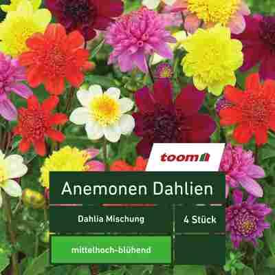 Anemonen-Dahlien 'Dahlia Mischung', 4 Stück, mehrfarbig