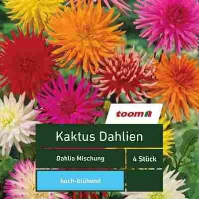 Blumenzwiebeln Kaktus-Dahlien 'Dahlia Mischung' 4 Stück mehrfarbig