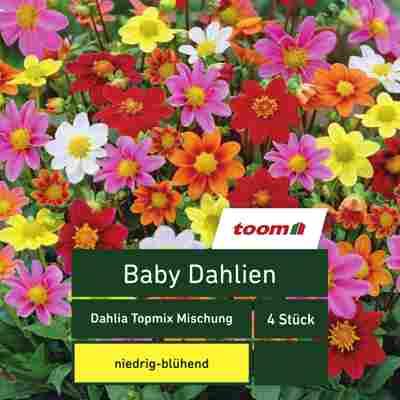 Blumenzwiebeln Baby-Dahlien 'Dahlia Topmix' 4 Stück mehrfarbig