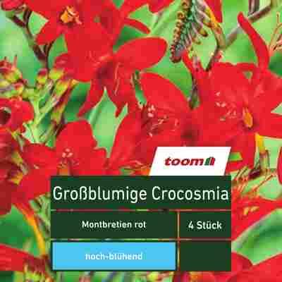 Blumenzwiebeln Großblumige Crocosmia Montbretien rot 4 Stück