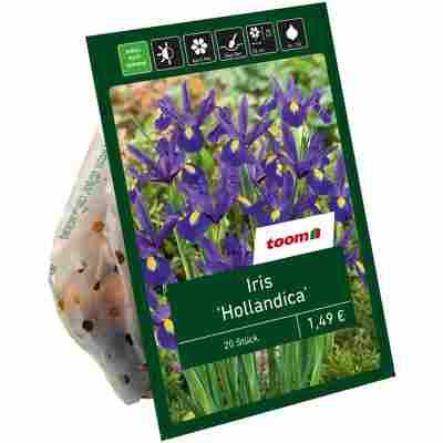 Iris 'Hollandica' blau 20 Zwiebeln