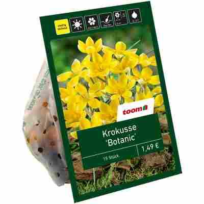 Botanische Krokusse gelb 15 Zwiebeln