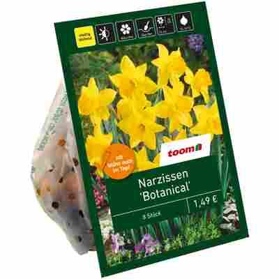 Botanische Narzissen gelb 8 Zwiebeln