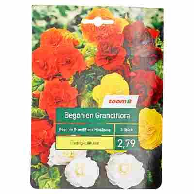 Begonien-Mischung 'Grandiflora' 3 Stück
