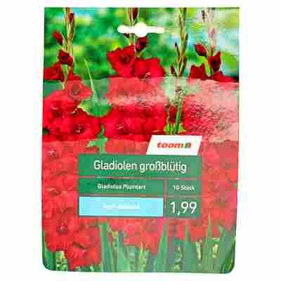 Großblütige Gladiolen 'Plumtart' 10 Stück