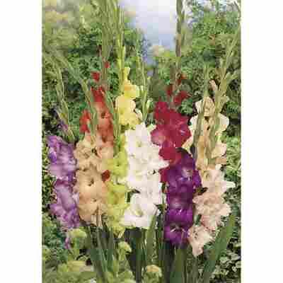 Gladiolen-Mischung großblütig 20 Stück
