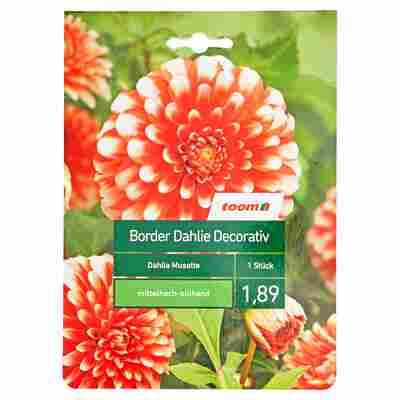 Border-Dahlie 'Musette' 1 Stück