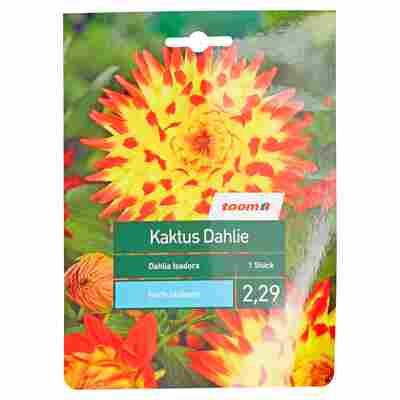 Kaktus-Dahlie 'Isadora' 1 Stück