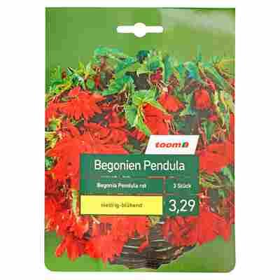 Begonien-Mischung 'Pendula' rot 3 Stück