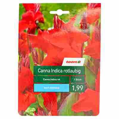 Indisches Blumenrohr rotlaubig, rot 1 Stück