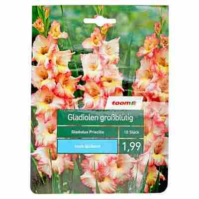 Großblütige Gladiolen 'Priscilla' 10 Stück