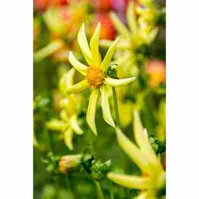 Kaktus-Dahlie 'Honka' 1 Stück