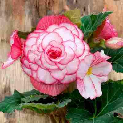 Begonien 'Bouton de Rose' 3 Stück