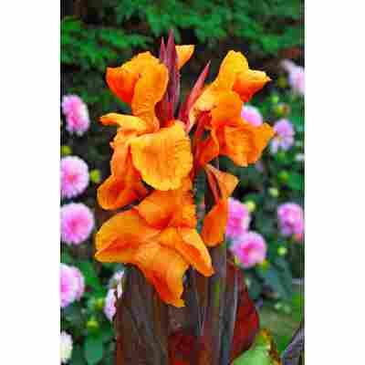 Indischen Blumenrohr rotlaubig, orange 1 Stück
