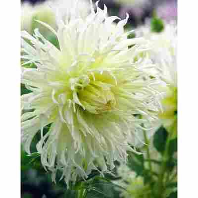 Kaktus-Dahlie 'Tsuki-Yori-No-Shisha' 3 Stück