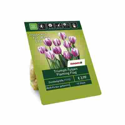Triumph-Tulpen 'Flaming Flag' weiß-purpur geflammt 10 Zwiebeln