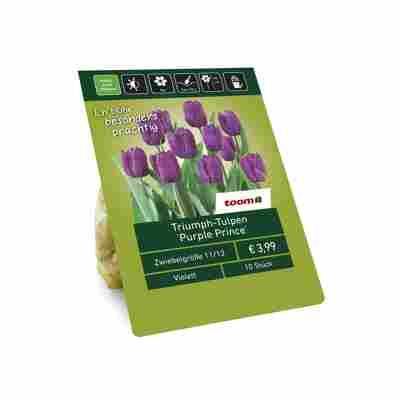 Triumph-Tulpen 'Purple Prince' violett 10 Zwiebeln