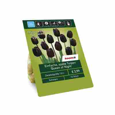 Einfache späte Tulpen 'Queen of Night' schwarz 10 Zwiebeln