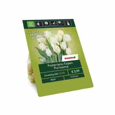 Fosteriana-Tulpen 'Purissima' weiß 10 Zwiebeln