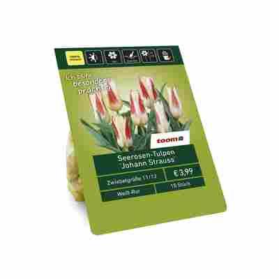 Seerosen-Tulpen 'Johann Strauss' weiß-rot 10 Zwiebeln
