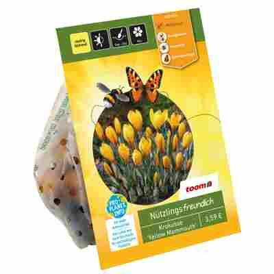 Großblumige Krokusse 'Yellow Mammouth' gelb 10 Zwiebeln