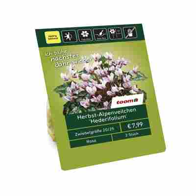 Herbst-Alpenveilchen 'Hederifolium' rosa 2 Zwiebeln
