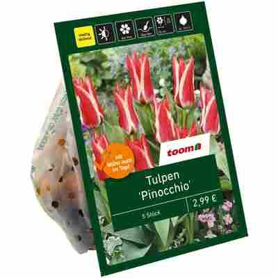 Tulpen 'Pinocchio' rot-weiß 6 Zwiebeln