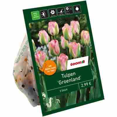 Tulpen 'Groenland' grün-rosa 7 Zwiebeln
