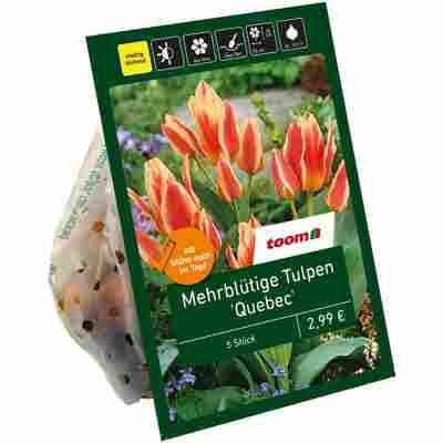 Tulpen 'Quebec Multiflowering' lachsfarben-gelb 5 Zwiebeln