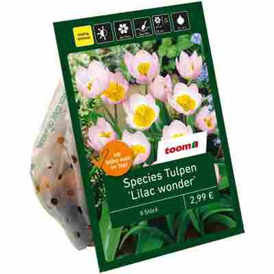Botanische Tulpen 'Lilac wonder' violett-gelb 8 Zwiebeln