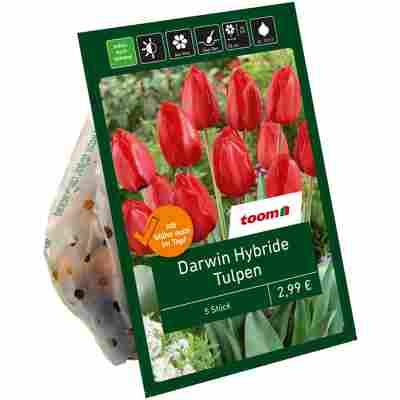 Tulpen 'DHT' rot 10 Zwiebeln