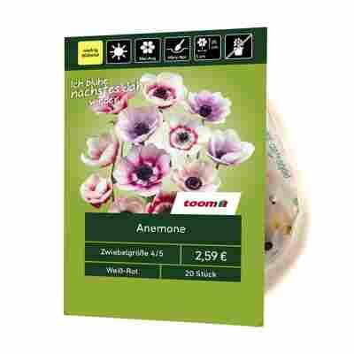 Anemone weiß-rot 20 Stück