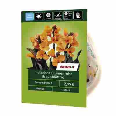 Indisches Blumenrohr braunblättrig