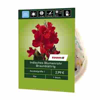 Indisches Blumenrohr braunblättrig 1 Stück