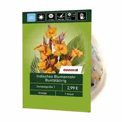 Indisches Blumenrohr buntblättrig 1 Stück