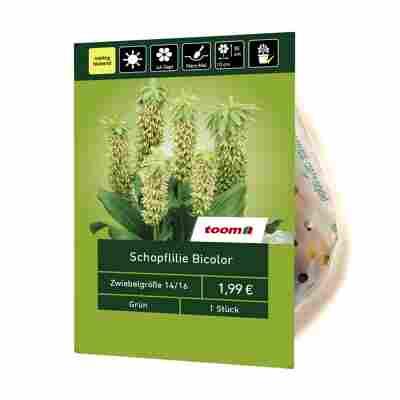 Schopflilie Bicolor grün 1 Stück