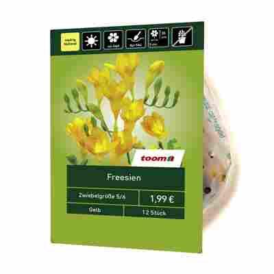 Freesien gelb 12 Stück