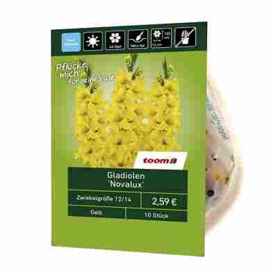 Gladiolen 'Novalux' 10 Stück